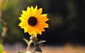 Desktop Wallpaper: One Sunflower