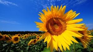 Desktop Wallpaper: Yellow Sunflower Fie...