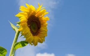 Desktop Wallpaper: Sunlight Over Sunflo...