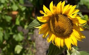 Desktop Wallpaper: One Sunflower Outdoo...