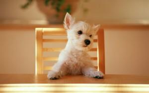 Desktop Wallpaper: Miniature Dog