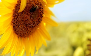 Desktop Wallpaper: Sunflower In Tilt Sh...