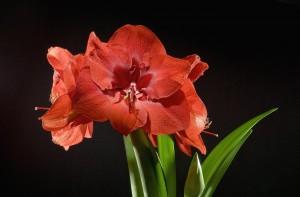 Desktop Wallpaper: Red Flower In Full B...