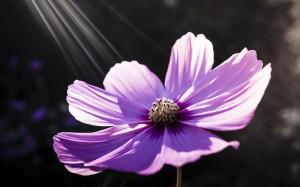Desktop Wallpaper: Purple 8 Petaled Flo...