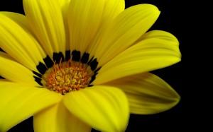 Desktop Wallpaper: Yellow And Black Flo...