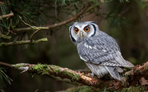Desktop Wallpaper: Grey And White Owl O...