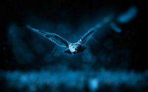 Grey And Black Small Bird Flying Low Above The Ground Selective Focus Photography - скачать обои на рабочий стол