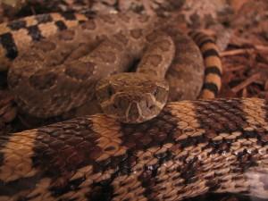 Desktop Wallpaper: Python Snake