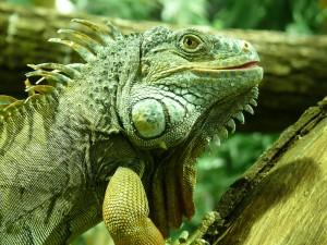 Desktop Wallpaper: Chameleon