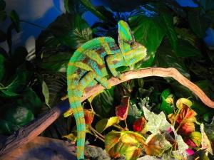 Desktop Wallpaper: Green Chameleon On B...