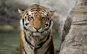 Desktop Wallpaper: Tiger Animal Near Gr...