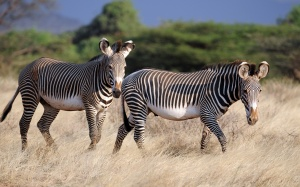 Desktop Wallpaper: 2 Black White Zebra ...