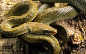 Desktop Wallpaper: Green Snake In Close...
