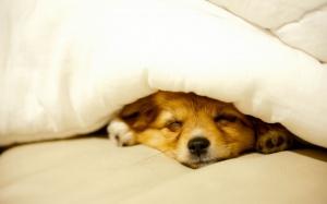 Desktop Wallpaper: Tan Short Coat Puppy...