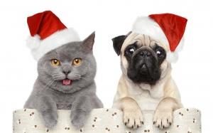 Desktop Wallpaper: Fawn Pug Beside Kora...