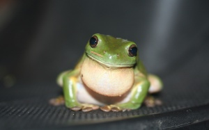 Desktop Wallpaper: Green And White Toad