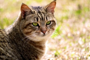 Desktop Wallpaper: Brown Tabby Cat On G...