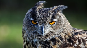 Desktop Wallpaper: Gray Owl Close Up Vi...