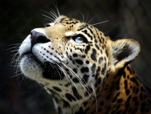 Desktop Wallpaper: Beige Black Cheetah ...