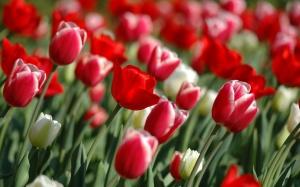 Desktop Wallpaper: Red Tulips
