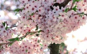 Desktop Wallpaper: Sakura Tree