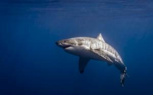 Desktop Wallpaper: Great White Shark Sw...