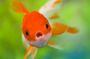 Desktop Wallpaper: Orange Goldfish