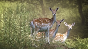 Desktop Wallpaper: Brown And White Deer
