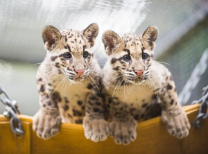 Desktop Wallpaper: 2 Leopard Cubs