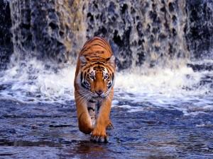 Desktop Wallpaper: Bengal Tiger Walking...
