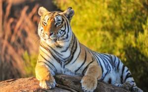 Desktop Wallpaper: Tiger Lying On Gray ...