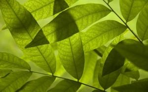 Desktop Wallpaper: Green Parallel Leaf