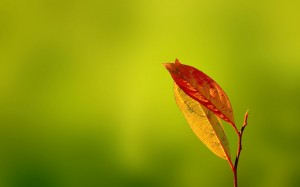 Desktop Wallpaper: Red Leaf In Focus Ph...
