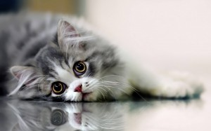 Desktop Wallpaper: Silver Tabby Kitten