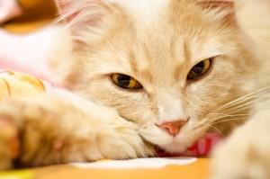 Desktop Wallpaper: White And Brown Cat ...