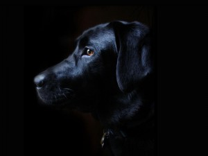 Desktop Wallpaper: Black Labrador