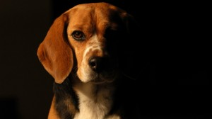 Desktop Wallpaper: Beagle Dog
