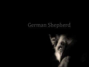 Desktop Wallpaper: German Shepherd Text