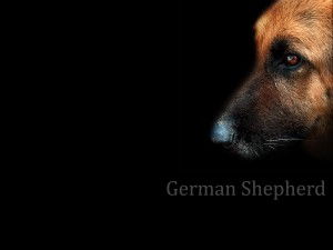 Desktop Wallpaper: German Shepherd