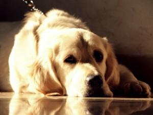 Light Golden Retriever Lying On Floor - скачать обои на рабочий стол