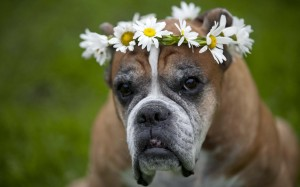Desktop Wallpaper: Brown Dog With Flowe...