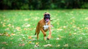 Desktop Wallpaper: Brown Boxer Dog Runn...
