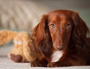 Desktop Wallpaper: Brown Dog Laying On ...