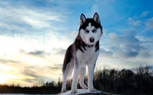 Desktop Wallpaper: Siberian Husky Stand...