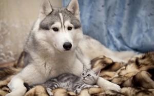 Desktop Wallpaper: Siberian Husky