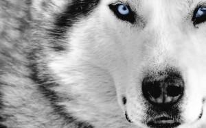 Desktop Wallpaper: White And Grey Wolf ...