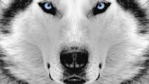 Desktop Wallpaper: White And Black Wolf