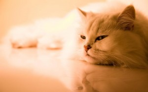 Desktop Wallpaper: White Persian Cat On...