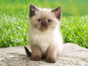Desktop Wallpaper: Siamese Kitten On Gr...