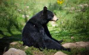 Desktop Wallpaper: Black Bear Sitting O...